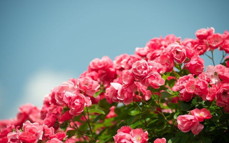 «Ich will mit dir in Himmels Rosen weiden»