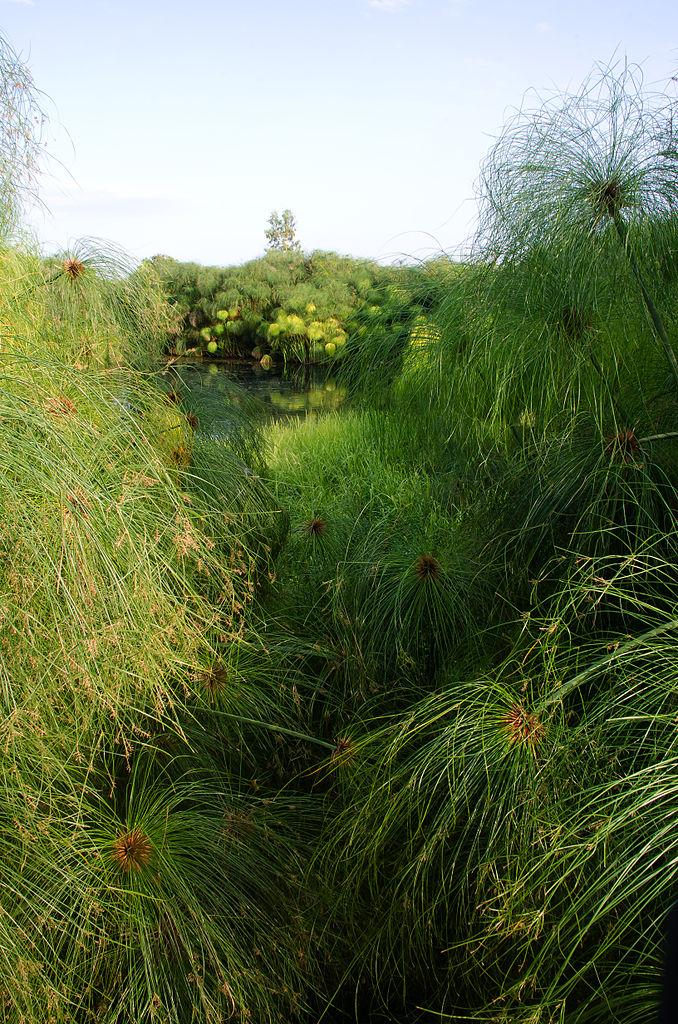 Растущий папирус (лат. Cyperus papyrus)
