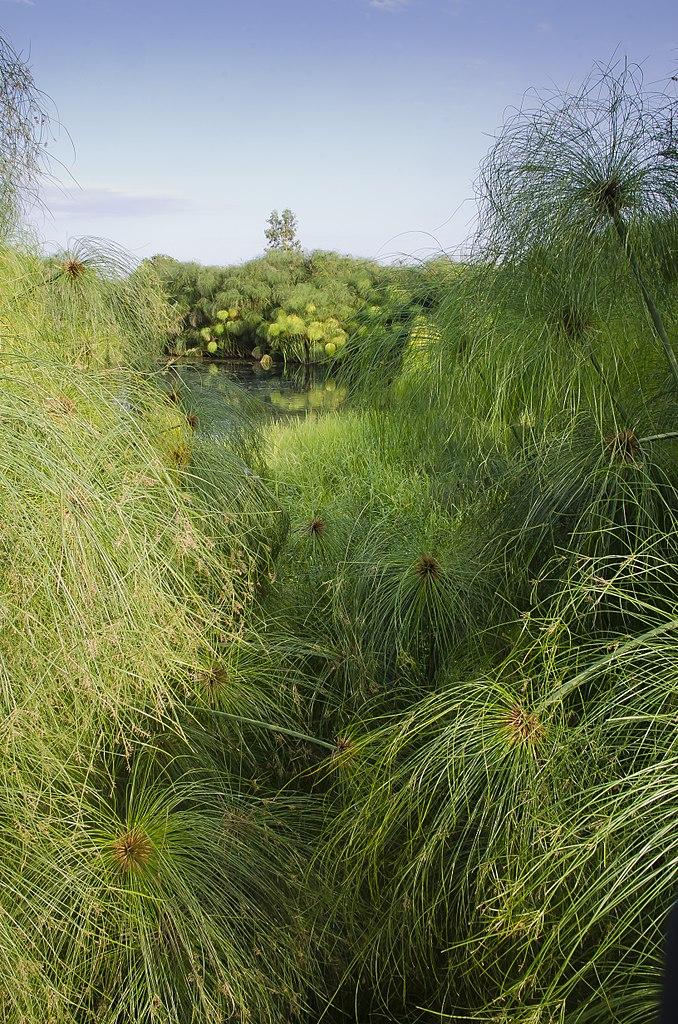 Растущий папирус, или Сыть папирусная (Cyperus papyrus L.)