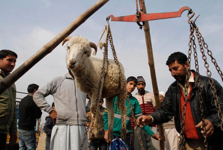 Взвешивание овцы на рынке во время праздника жертвоприношения. Индия, 2012
